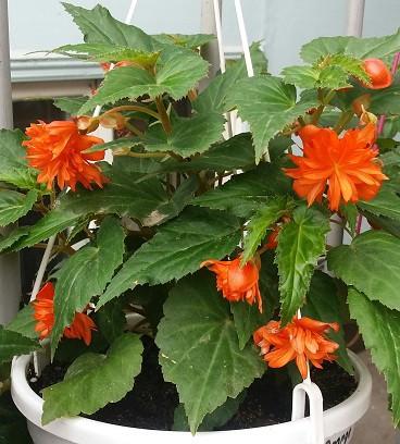Belleconia Hot Orange   №342 / укор.черенок