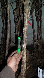 Толщина ствола саженца черешни.jpg