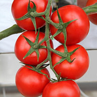 Семена томата Ламия F1 (lamia F1)