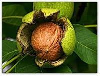 Выращивание грецкого ореха в Казахстане