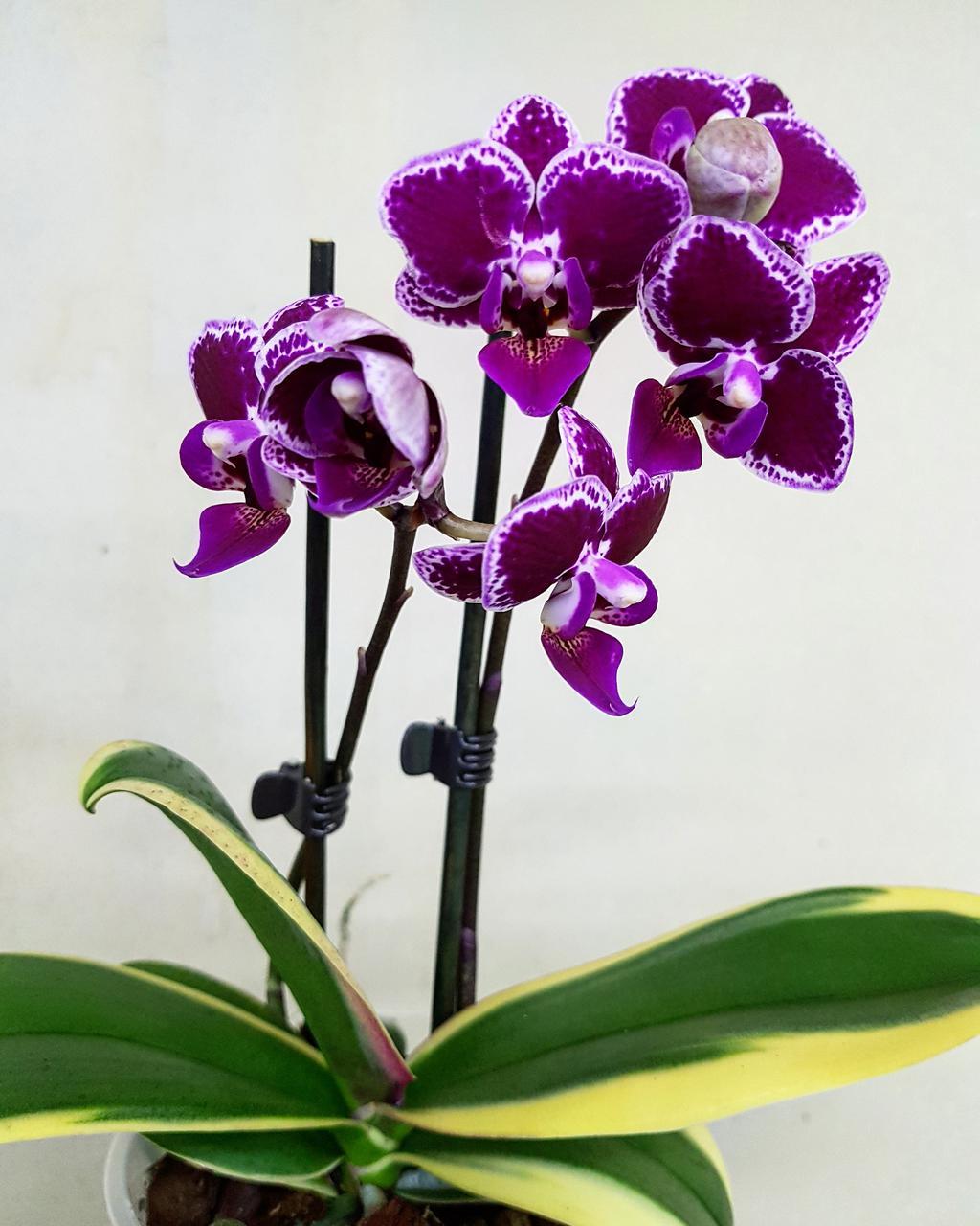 Орхидея Chia E Yenlin
