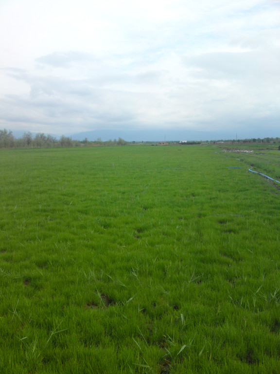 Поле для выращивания дерна из наших семян в Алматинской области
