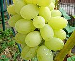 """Виноград """"Лора"""" (Флора), фото 2"""