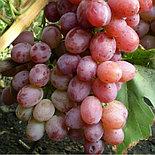 """Виноград """"Ливия"""", фото 2"""