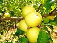 Саженец яблони Голден Делишес