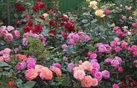 Саженец роза чайно-гибридная ремонтантная