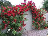 Саженец роза вьющаяся