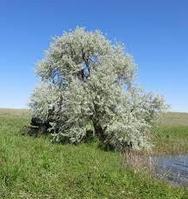 Саженец джигида-лох Казахстан