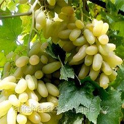 Саженец винограда Дамские пальчики