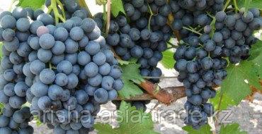 Саженец винограда Кишмиш-Черный султан