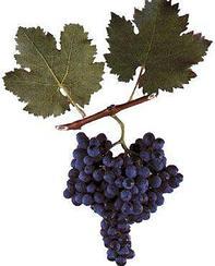 Саженец винограда Саперави