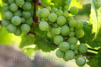 Саженец винограда Мускат Венгерский
