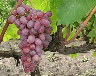 Саженец винограда Розовый тайфи