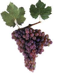 Саженец винограда Кульджинский