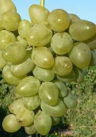 Саженец винограда Монарх