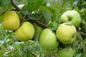 Саженец яблони Антоновка ММ 106