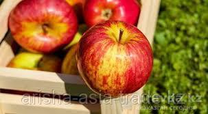 Саженец яблони Байтерек ММ 106