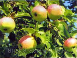 Саженец яблони Восход ММ 106