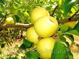 Саженцы яблони Голден Делишес ММ 106