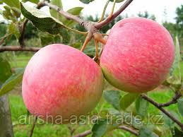 Саженец яблони Грушовка ММ 106