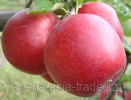 Саженец яблони Джонатан ММ 106