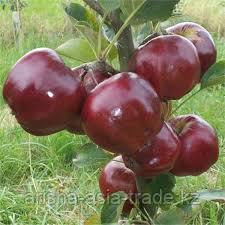 Саженец яблони Июньский красный ММ 106