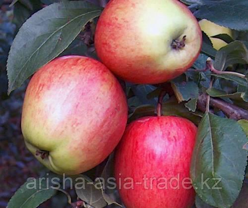 Саженцы яблони Каравелл ММ 106