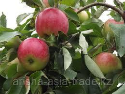 Саженец яблони Мельба ММ 106
