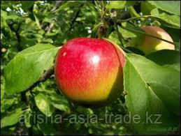 Саженец яблони Квинти ММ 106
