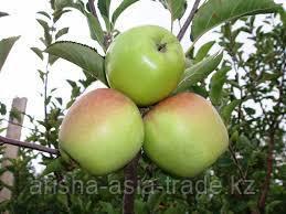 Саженец яблони Корей ММ 106