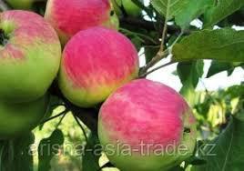 Саженец яблони Мантет ММ 106