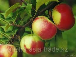 Саженец яблони Рашида ММ 106