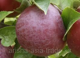 Саженец яблони Саркыт ММ 106