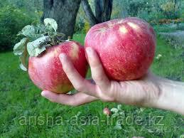 Саженец яблони Сая ММ 106