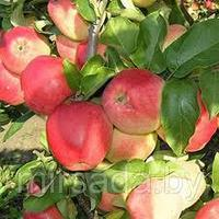 Саженец яблони Синап Кандиль ММ 106