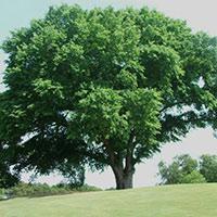Саженцы для ветрозащиты и лесополосы