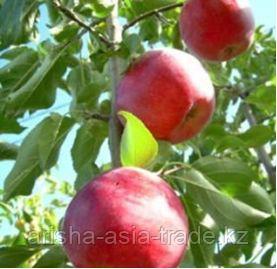 Саженец яблони Старэрлиест  Старкэрлиест ММ 106
