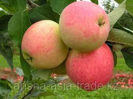Саженец яблони Суйслеппер Столовка ММ 106