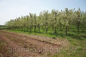 Схема посадки грушевого сада