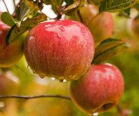 "Саженцы яблони ""Прима"""