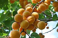 """Саженцы абрикоса """"Хондоки"""""""