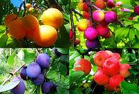 Саженцы плодовых в ассортимете