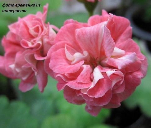 Wedding Royal /золотолистный розебуд/ укор.черенок