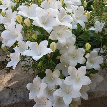 Isophila Atlanta White /укор.черенок
