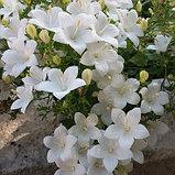 Isophila Atlanta White / взрослое цветущее растение, фото 2