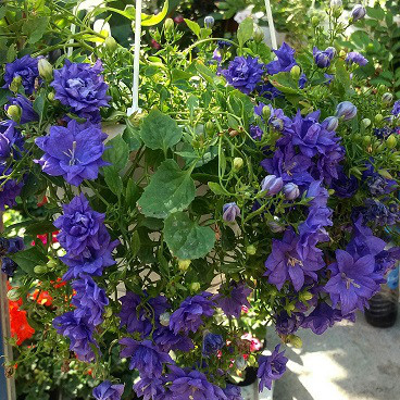 Isofila Dublin Blue/ растение в кашпо