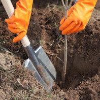 Как прикопать саженцы