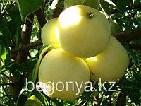 Яблоня Белый налив  2 летка