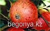 Яблоня  Грушовка московсская  2 летка