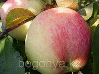 Яблоня  Мельба  1 летка